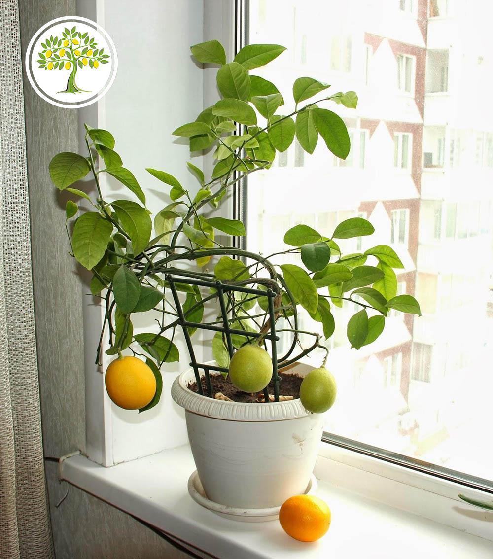 Комнатный лимон на окне фото