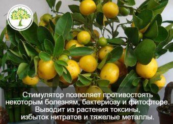 Фото комнатного лимона