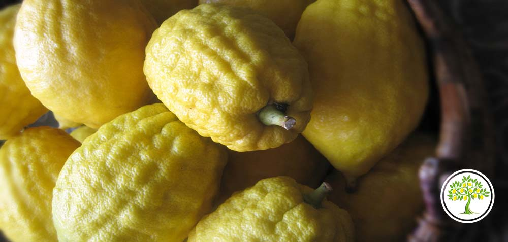 Фотография плодов цитрона