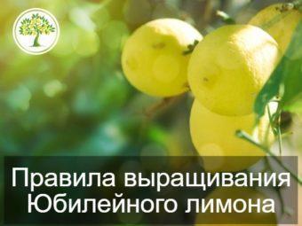 как выращивать домашний лимон?