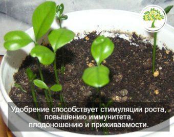 ростки в горшке