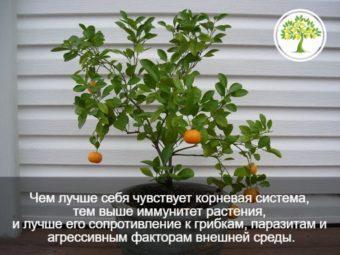 Фото мандарин на дереве