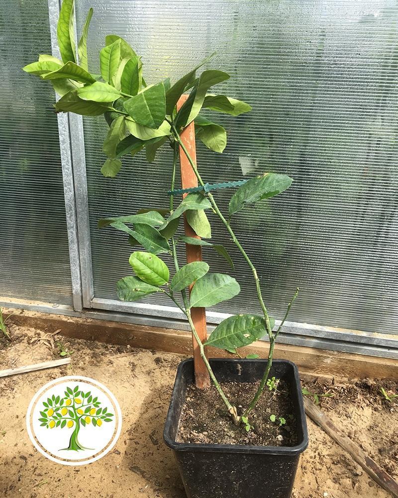 цитрусовое дерево купить