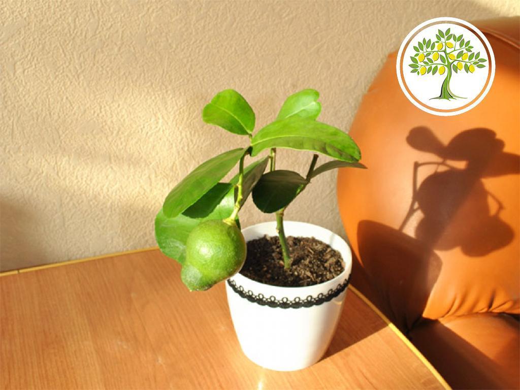 цитрусовые дерево