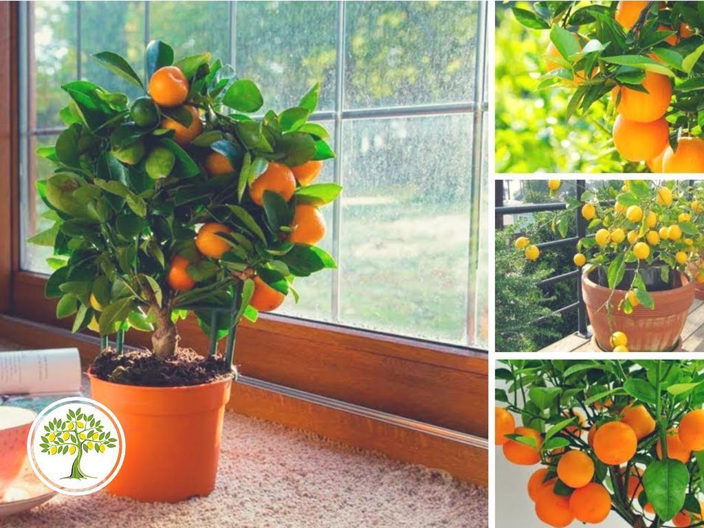 фото плодовитые цитрусовые