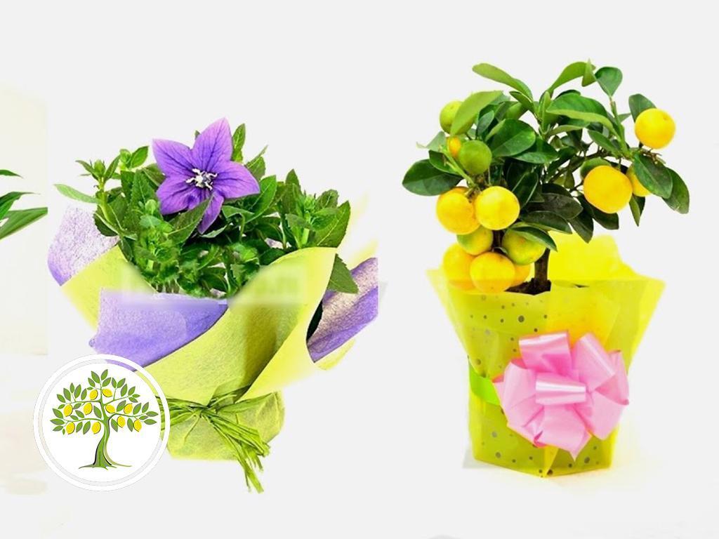 растение в подарок