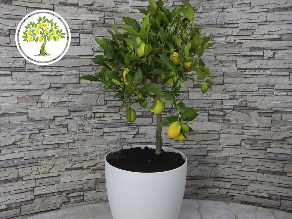 лимон в подарок