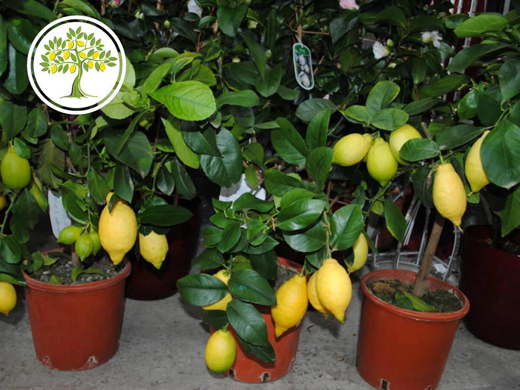павловский лимон