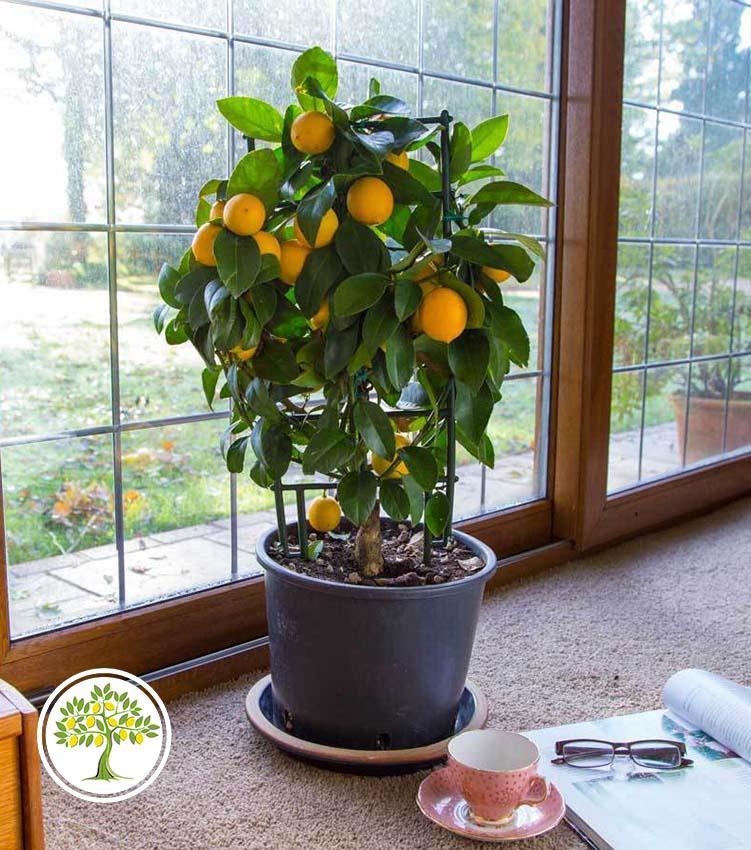 Купить цитрусовое растение в подарок