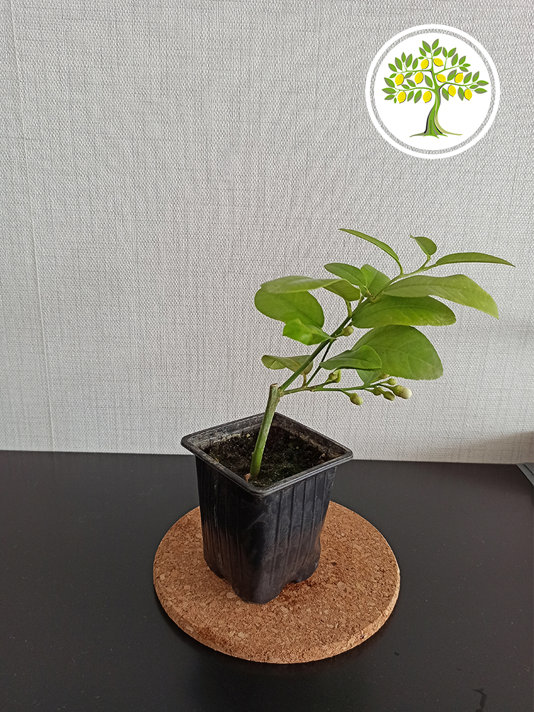 растения для дома и офиса в Брянске.
