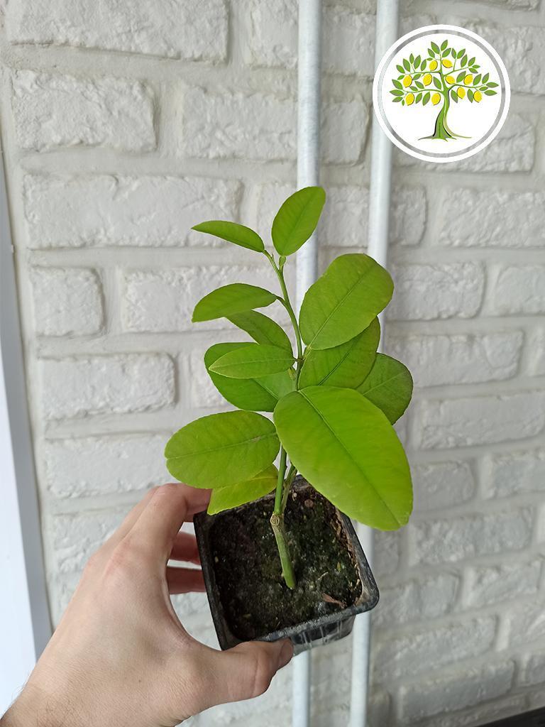 растения для дома и офиса в Абакане
