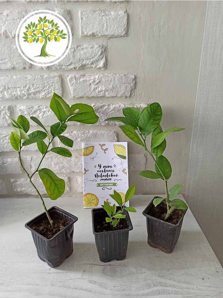 саженцы цитрусовых растений