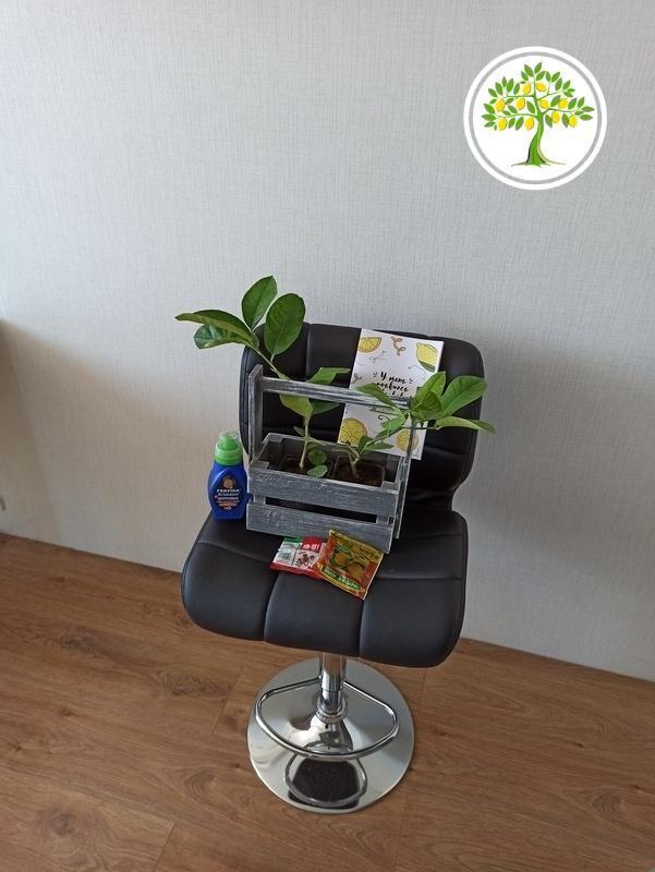 изображение цитрусовые саженцы на кресле