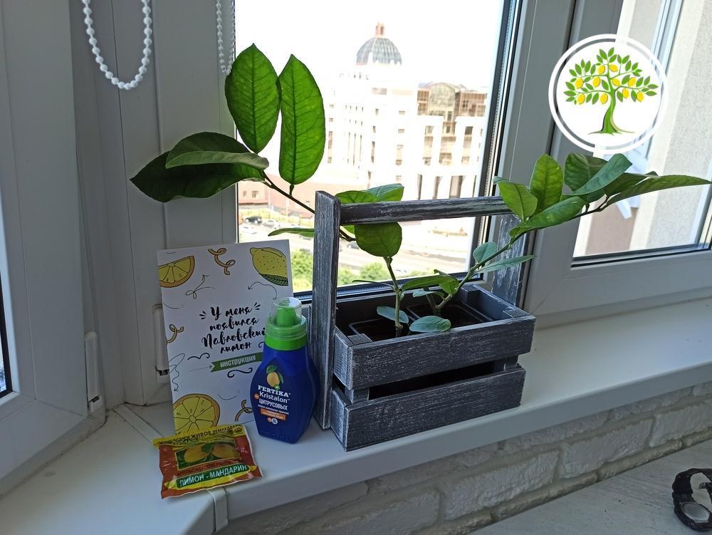 лимонное дерево фото