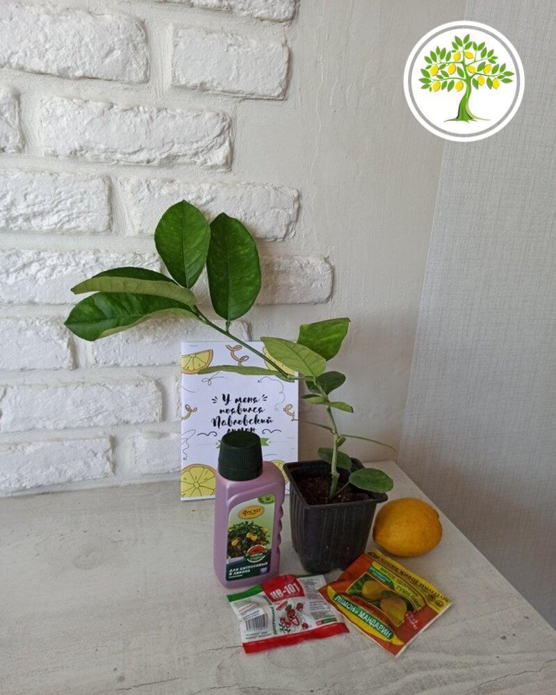 Комнатный лимон саженец на столе фото