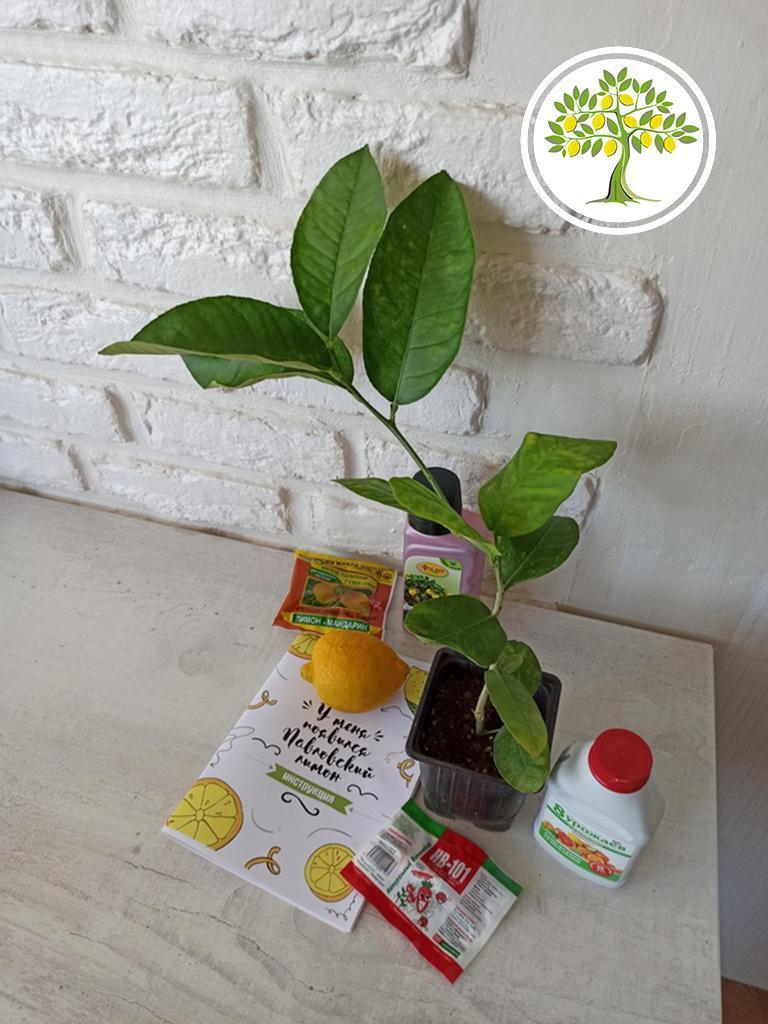 фото Цитрусовые растения напрямую из питомника «Павловский лимон»