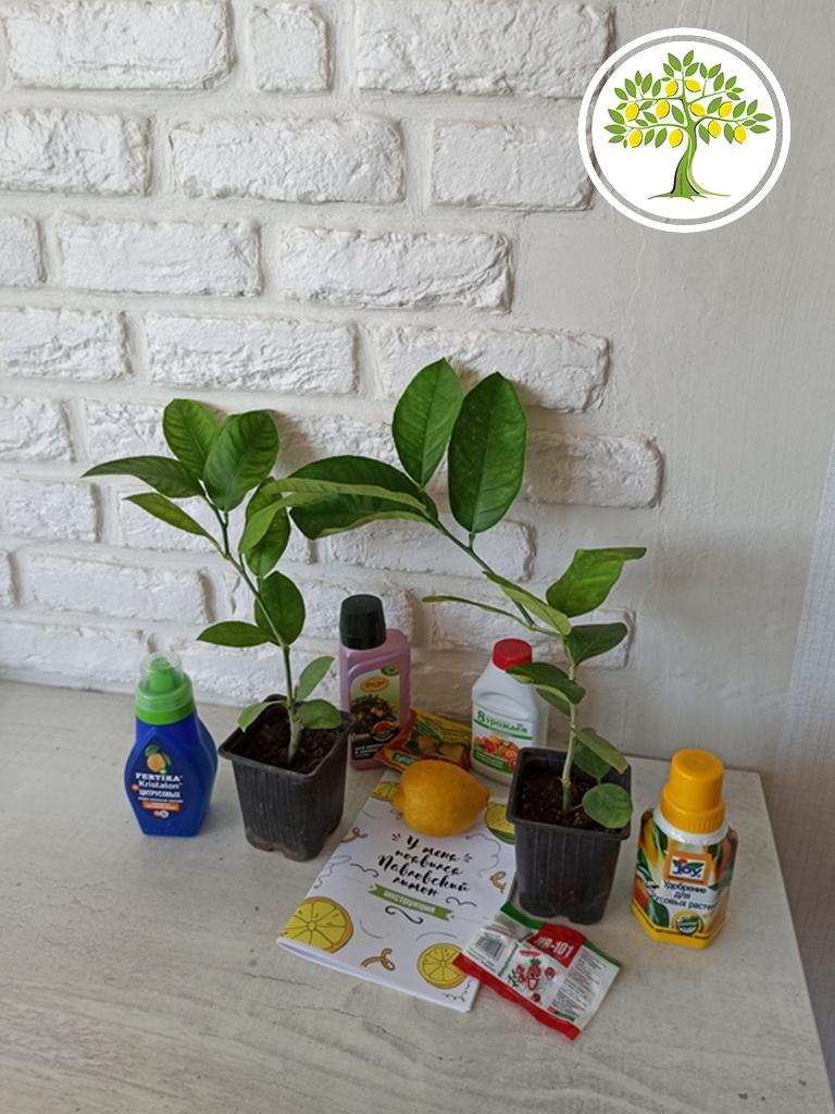экзотические цитрусовые растения