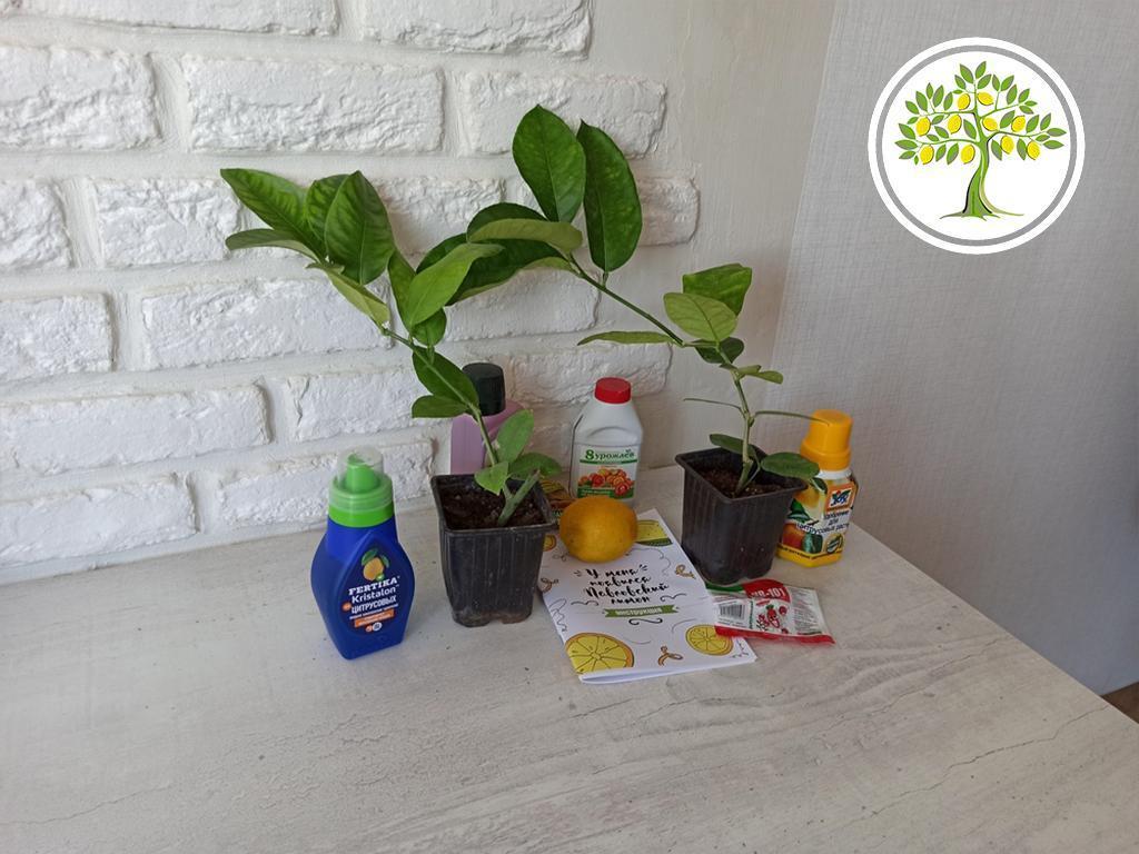 цитрусовые растения напрямую из питомника