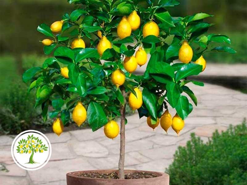фото комнатный лимон