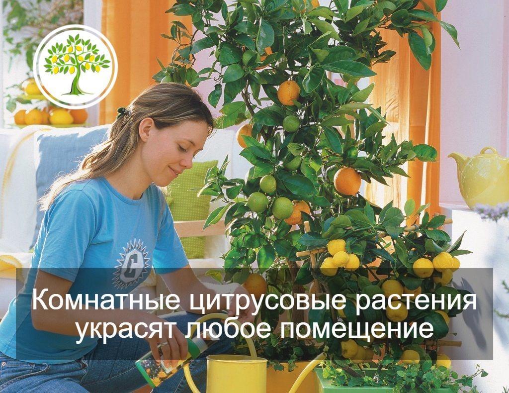 фото подкормка цитрусовых