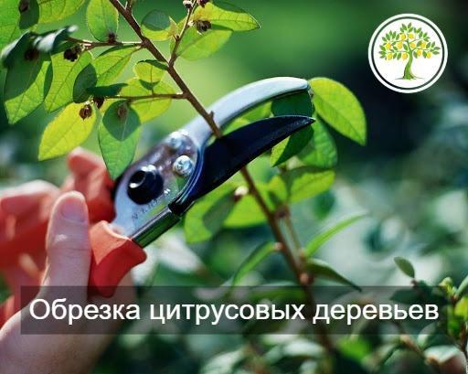Обрезка цитрусовых деревьев