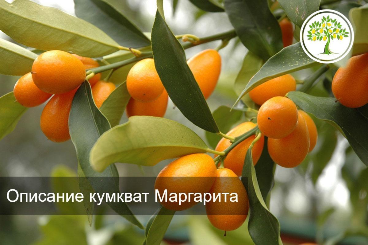 плоды кумкват