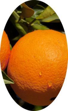 плоды Апельсин Навелина