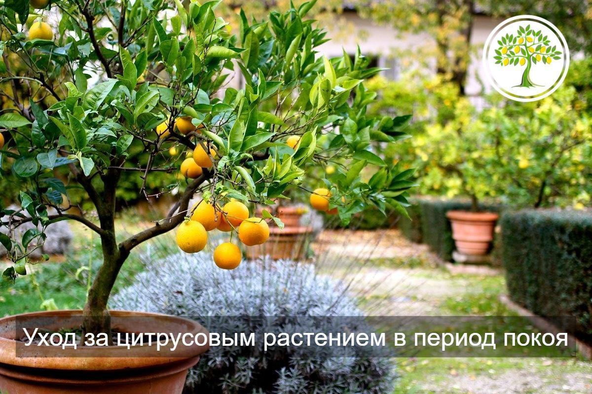 зимовка цитрусовых