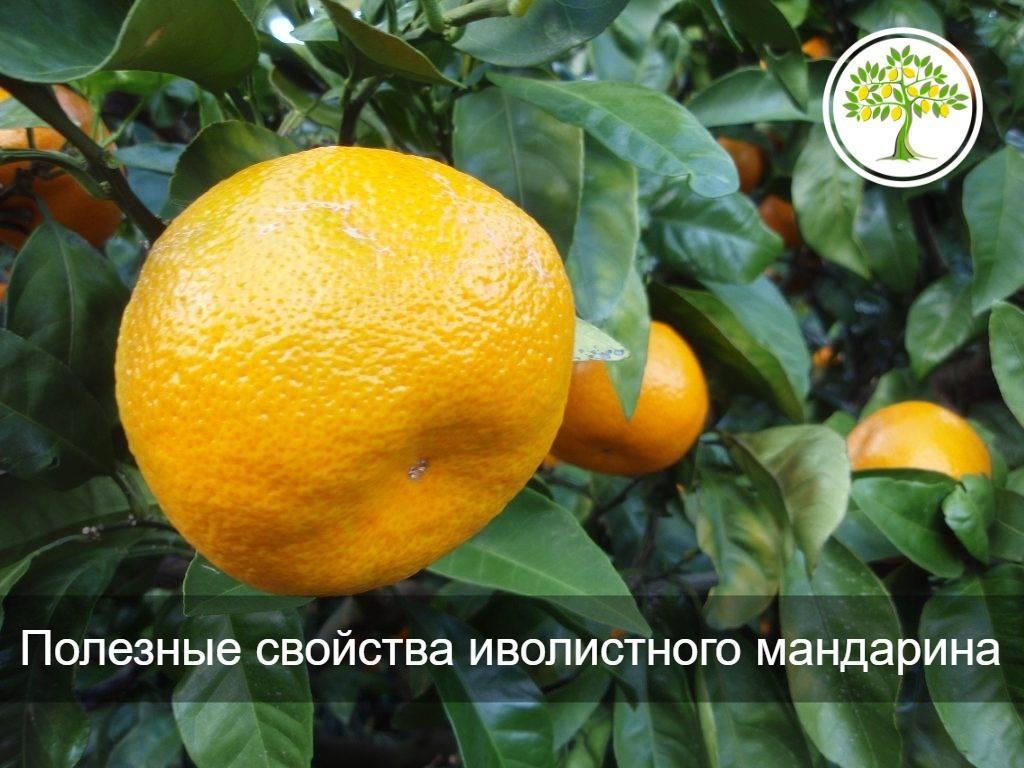 изображение плод мандарина