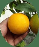 плод цитруса