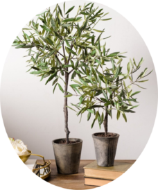 Комнатное Оливковое дерево
