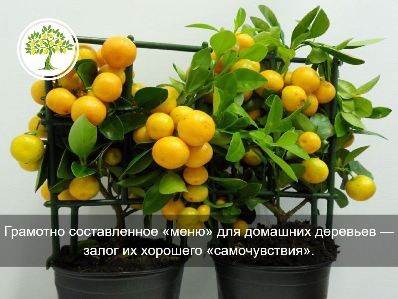 подкормка цитрусовых
