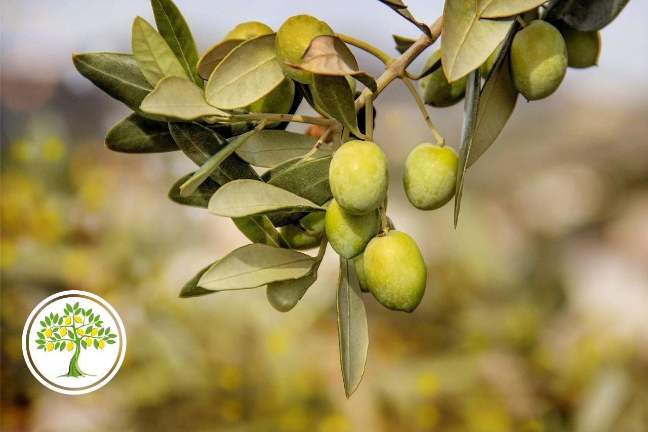 картинка плоды оливы