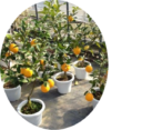 деревья цитрусовые