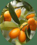 плоды кумкват Маргарита