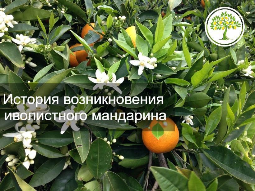 фото плод мандарина