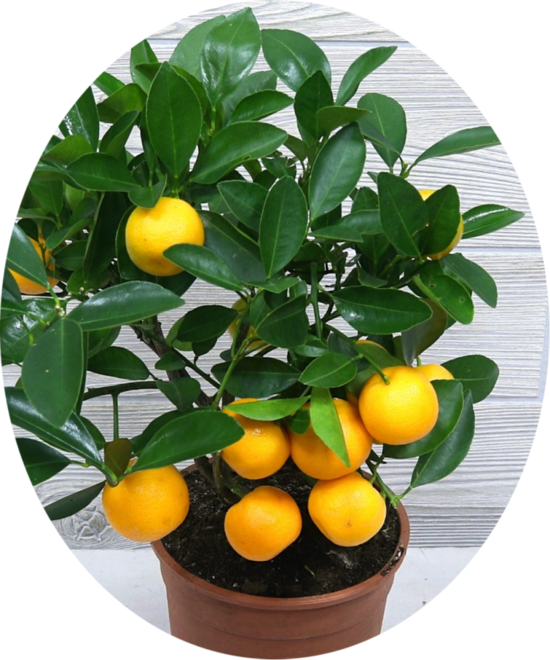 Иволистный мандарин