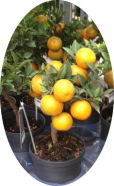Апельсин Навелина 2