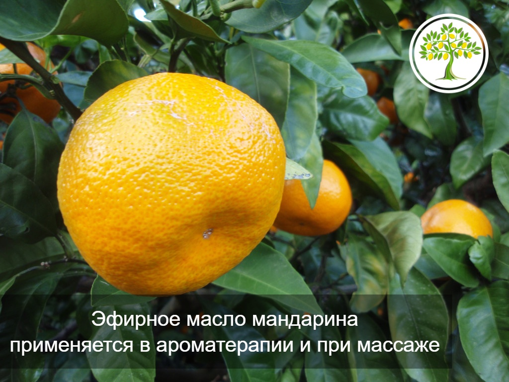 картинка мандарин