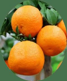 плоды Мандарин Ковано Васе
