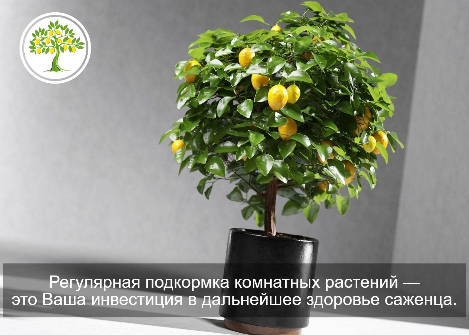 картинка лимон в горшке