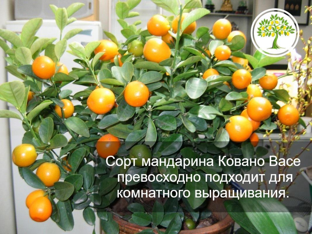 фото Сорт мандарина Ковано Васе