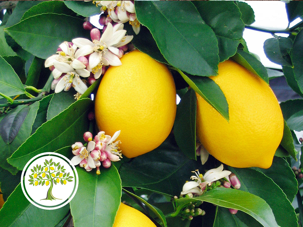 фото цветение Лимон Мейера
