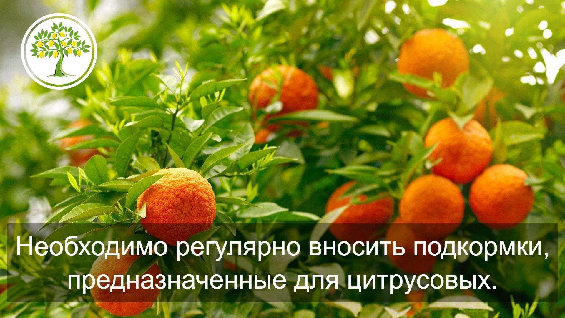 цитрусовые плоды картинка