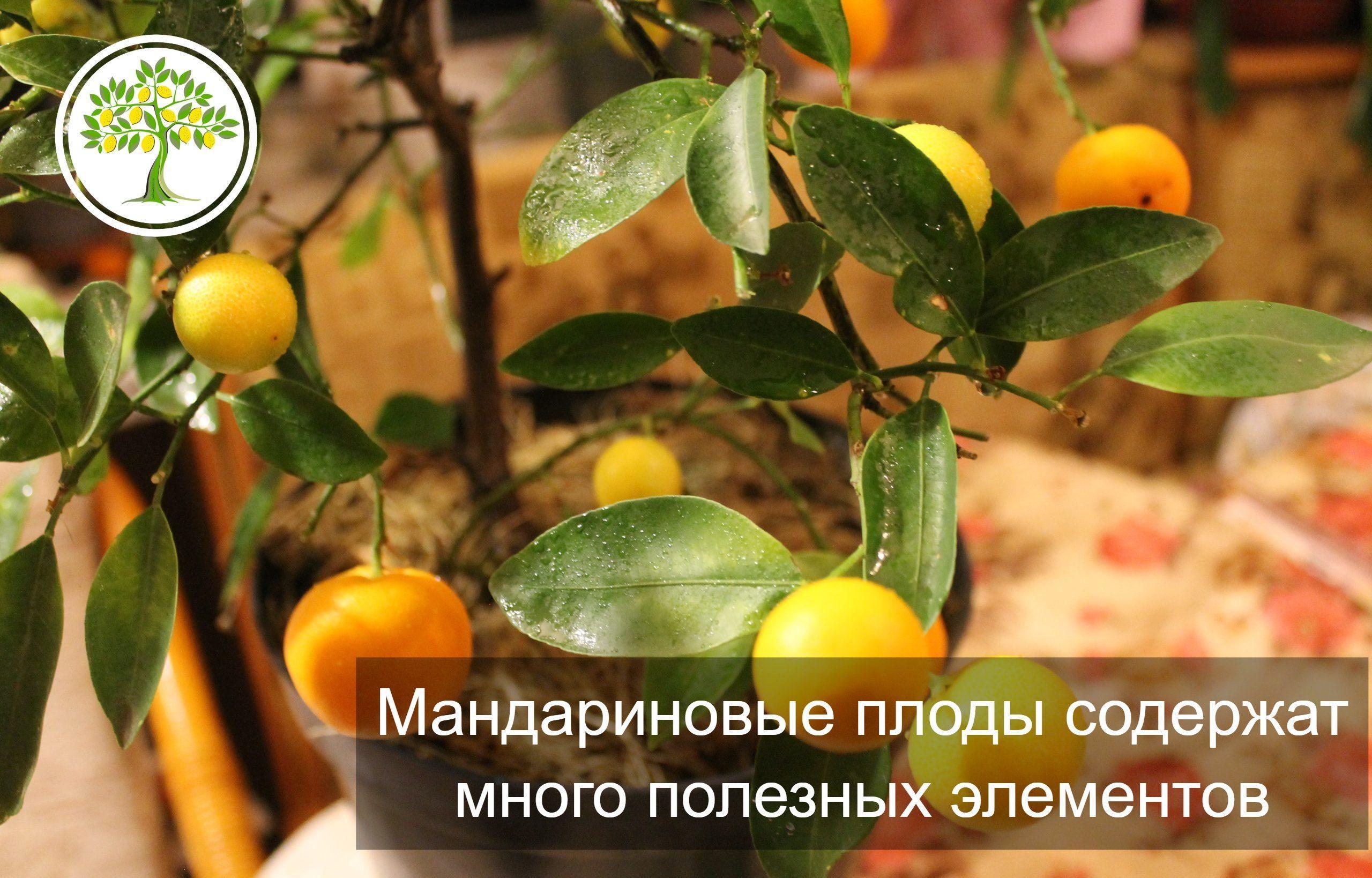 Мандариновые плоды картинка