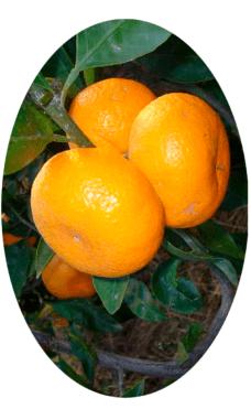 Плодоносящий комнатный мандарин