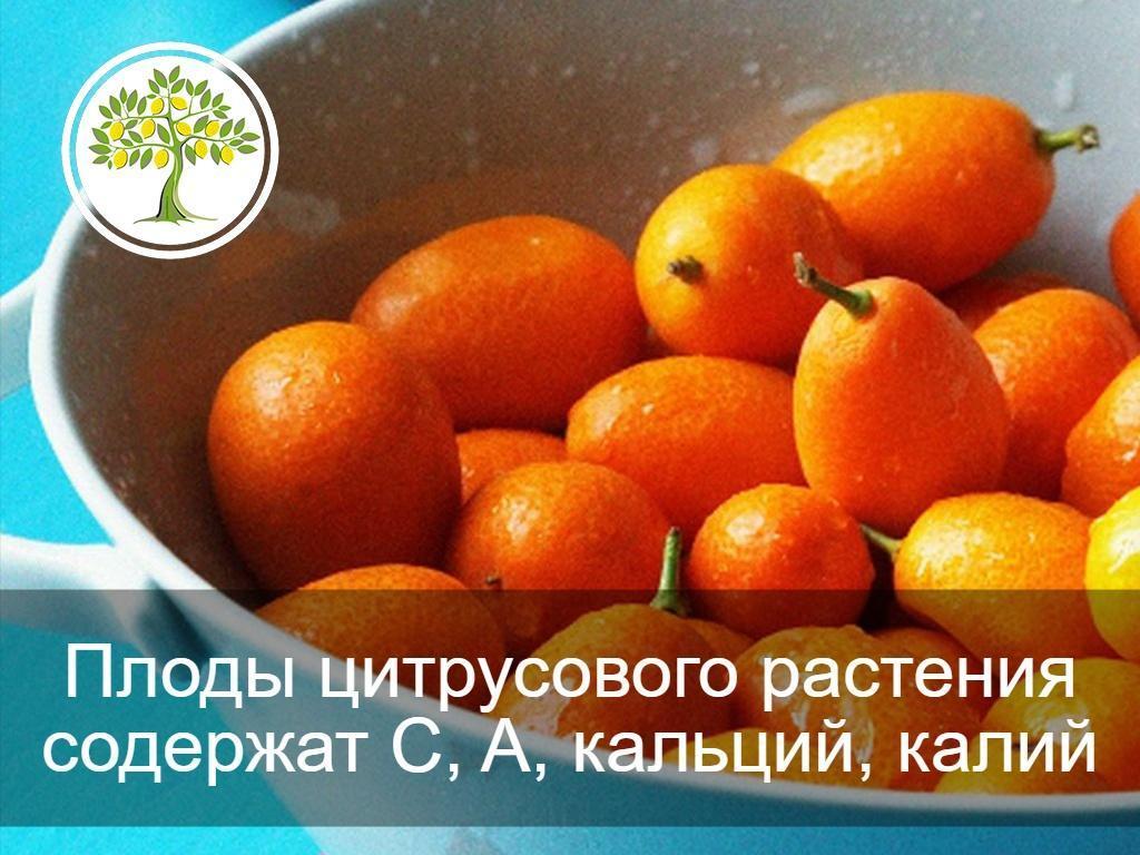 фото Кумкват Кинкан польза