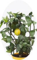 Лимон Мейера