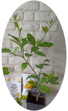 Новогрузинский комнатный лимон купить