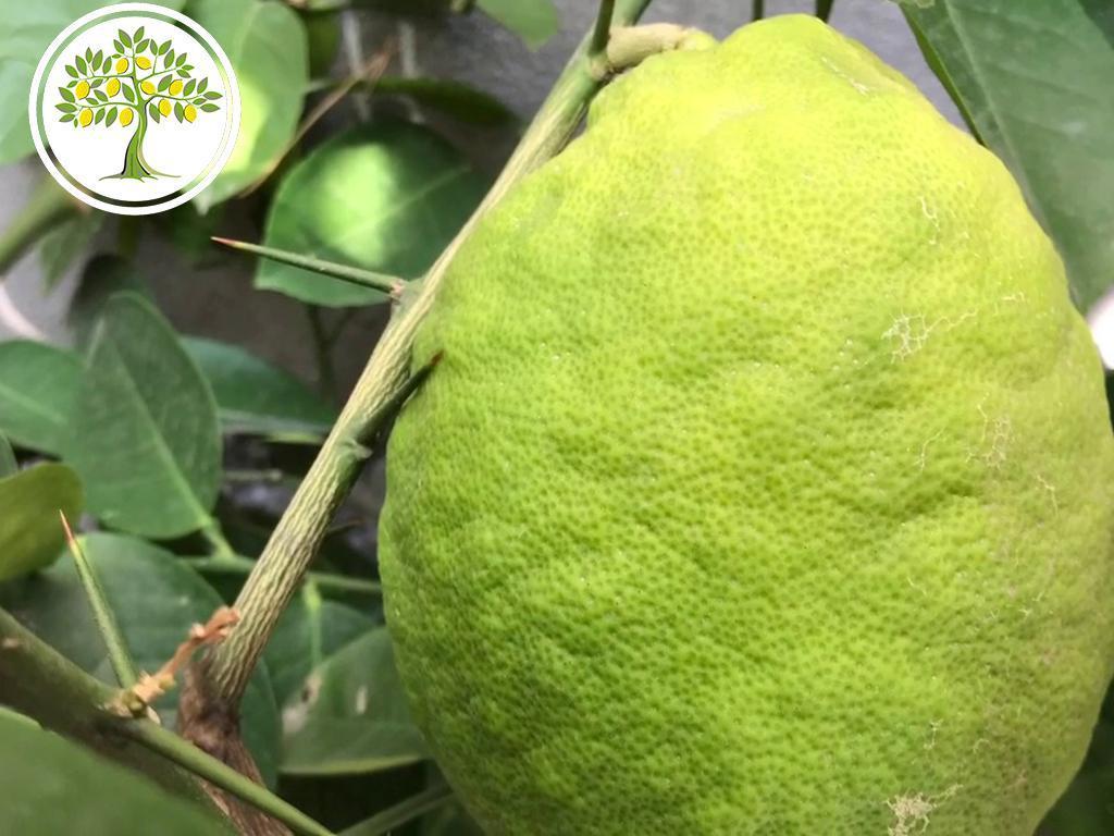 плод Лимон Новозеландский